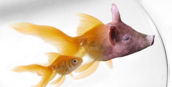 قريباً .. أسماك أوروبية تتغذى على لحم الخنزير