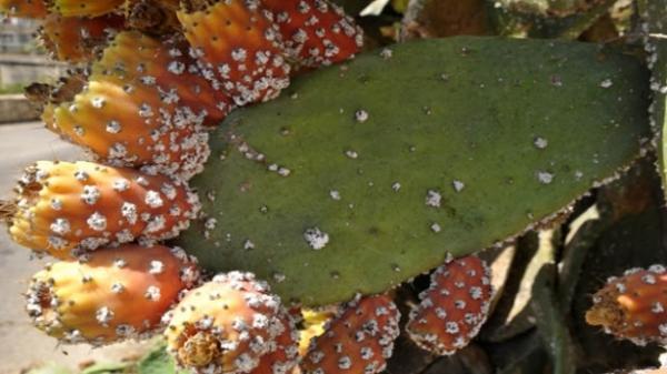 thumbnail.php?file=p16_07_25157_640_972128_large_357912406 ثمانية ملايير  سنتيم من أجل تعزيز تدابير محاربة الحشرة القرمزية للصبار فلاحة